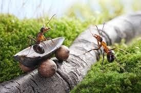 répulsif naturel anti fourmis