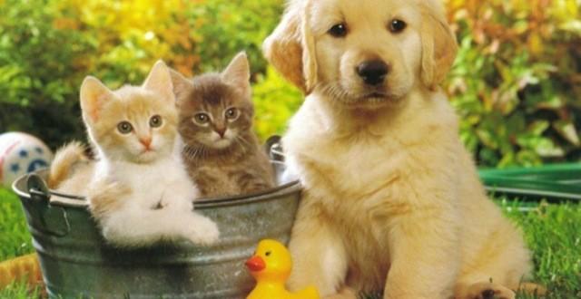 Vinaigre blanc contre les puces : utile en prévention  Si vous pensez que votre animal de compagnie (chien ou chat) a été dans un endroit à risque : Remplissez une bouteille avec une moitié d'eau et l'autre moitié de vinaigre blanc. Appliquez cette solution directement sur le poil de votre chien ou de votre chat, en frottant bien pour que le mélange pénètre. Évitez soigneusement les yeux lors de cette opération. Bon à savoir : les chats n'aiment pas du tout l'odeur du vinaigre blanc, il faudra donc bien les tenir et les rassurer pour leur appliquer le mélange. En outre, il ne faut surtout pas appliquer ce mélange directement sur la peau du chat, cela risquerait de l'agresser. Mettez-en dans votre main et frottez délicatement le pelage. Vinaigre blanc contre les puces : efficace aussi en cas d'infestation  Si, en revanche, les puces se sont déjà installées dans le pelage de votre petit compagnon : Nettoyez votre animal avec un shampoing neutre spécialisé pour les animaux. Rincez et séchez bien votre animal. Préparez ensuite un mélange avec une cuillère à soupe de vinaigre blanc diluée dans un bol d'eau. Appliquez cette solution sur le pelage de votre animal à l'aide d'un gant de toilette, ou avec un peigne anti-puce pour plus d'efficacité. Répétez cette opération deux semaines plus tard, puis une nouvelle fois 15 jours après si les puces n'ont pas totalement disparu. Bon à savoir : brossez bien votre animal après chaque traitement, pour éliminer les puces mortes.